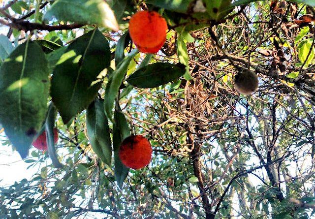 Quei rossi frutti di corbezzolo
